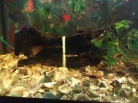 Aquarium Bugwood for sale
