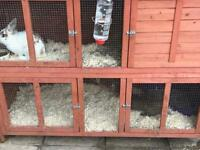 Double Hutch and 2 male rabbits