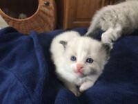 Bi Colour Ragdoll Kittens