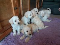 Adorable Schnoodle Puppies (Cream/Apricot)