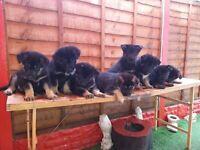 Husky x German shepherd pup