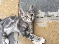 Beautiful grey and white kitten for sale