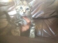 2 kittens for sale 6 weeks old