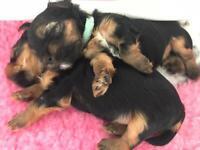 Adorable Biewer/Yorkshire Terriers
