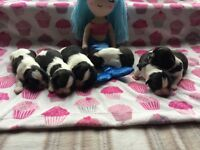 Beautiful healthy Shih tzu puppies , Ready end August