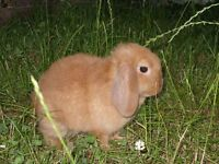 Orange Mini Lop Does REDUCED
