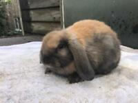 Mini Lop & Lion Lop Babies