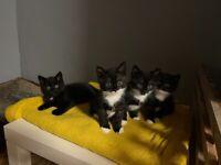 Black/white kitten