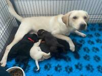 KC Registered Chunky Labrador Puppies