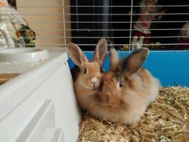 Two beautiful buck rabbits