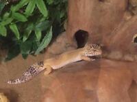 2 leopard geckos and setup.