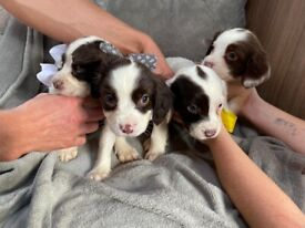 4 female cocker spaniel puppies chocolate and white