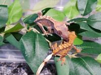 Baby crested geckos for sale. 4g and upwards. 5 available. 3 without tails, 2 with. Fed on pangea.