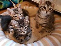 3 Tabby boys kittens for sale