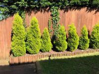 Established Conifer Trees