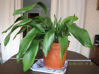 A large Aspidestra HousePlant. In excellent condition & well nurtured.