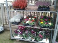 Autumn & Winter Pot Bedding & Shrubs at Sparkle & Bloom Ltd.