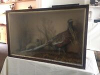 Antique Cased Taxidermy Display of a Common Cock Pheasant & Stoat