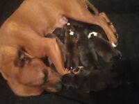 Beautiful Staffordshire Bull Terrier Pups