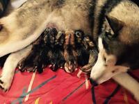 Alaskan malamutes puppies