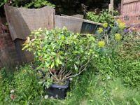 Grown Laurel Bush for sale, in plant pot