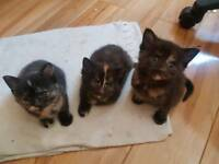 Four identical Female Kittens looking for New homes