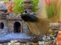 Siamese fighter fish