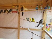 Healthy & Colourful Aviary Budgies for sale