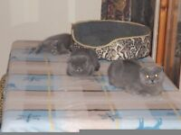 ragdoll and blue cats for sale
