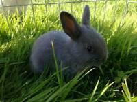 Netgerland Dwarf Rabbits