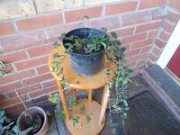 A pot of periwinkle/vinca plants