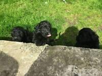 Newfoundland x puppies