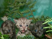 FULL PEDIGREE BENGAL KITTENS