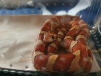 8 month old crimson corn snake for sale