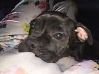 1. French bulldog mixed with a staff so friendly and happy please contact me for more info.