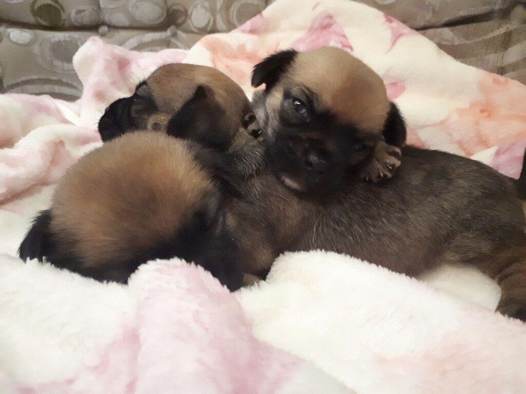 Jug puppys
