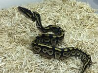 Baby pythons for sale