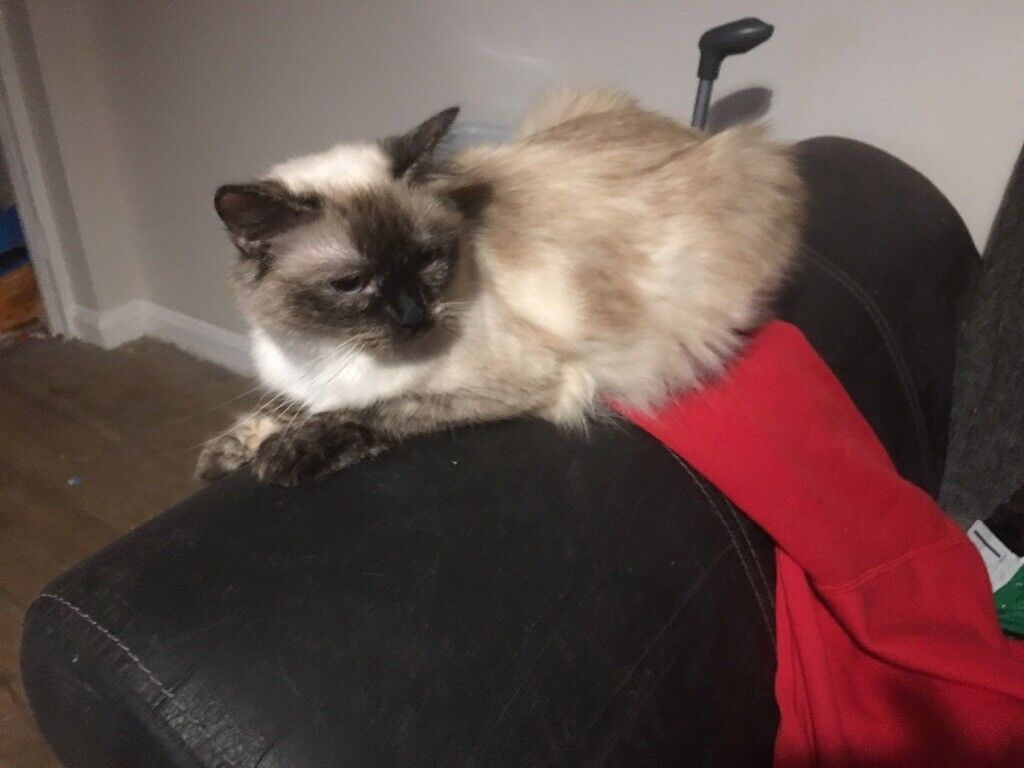 3 pedigree ragdoll kittens | in Diss, Norfolk | Gumtree