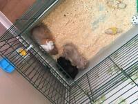 3 male guinea pigs for sale