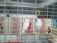 Two female Budgie's