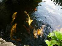 Gost koi for sale