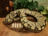 Various royal pythons for sale