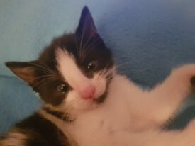 1 Adorable black and white female kitten