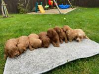 F2b cockapoo puppies, ready to go 20th dec