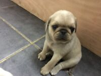 KC REGISTER CHINCHILLA PUGS MALE AND FEMALES AVALABLE