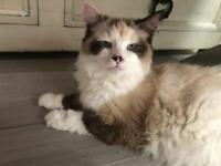 Mitted bicolour Ragdoll kittens ready now
