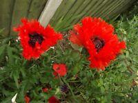 Hardy Poppy Plants