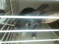 Bunny for Sale + includes cage