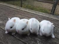 Lovely pure blue eyed white Netherland dwarf baby rabbit