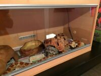 Variety of Snakes for sale with set ups, Milton Keynes. Corn snake